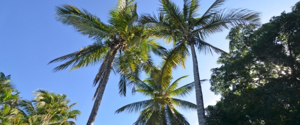 coconut trees in the villa